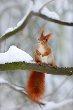 Cute Red Squirrel in Winter Scene with Snow Blurred Forest in the Background. Wildlife Winter Scene by Ondrej Prosicky