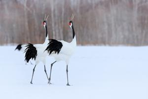 Dancing Pair of Red-Crowned Cranes With, with Blizzard, Hokkaido, Japan. Pair of Beautiful Birds, W by Ondrej Prosicky
