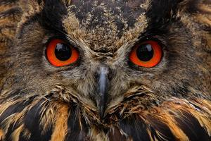 Detail Face Portrait of Bird, Big Orange Eyes and Bill, Eagle Owl, Bubo Bubo, Rare Wild Animal in T by Ondrej Prosicky