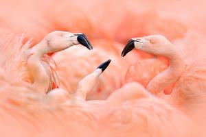 Fight of American Flamingos, Phoenicopterus Rubernice, Pink Big Birds, Dancing in the Water, Animal by Ondrej Prosicky