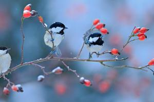 First Snow with Birds. Three Songbirds, Great Tit and Coal Tit, on Snowy Wild Rose Branch. Winter S by Ondrej Prosicky