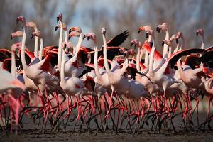 Flock of Greater Flamingo, Phoenicopterus Ruber, Nice Pink Big Bird, Dancing in the Water, Animal I by Ondrej Prosicky