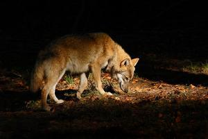 Gray Wolf, Canis Lupus, in the Dark Forest. Wolf Hidden in the Forest. Wildlife Scene from Nature. by Ondrej Prosicky