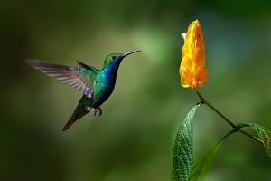 Green and Blue Hummingbird Black-Throated Mango, Anthracothorax Nigricollis, Flying next to Beautif by Ondrej Prosicky