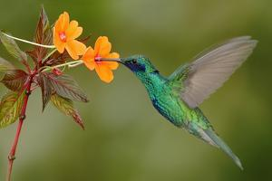 Green and Blue Hummingbird Sparkling Violetear Flying next to Beautiful Yelow Flower by Ondrej Prosicky