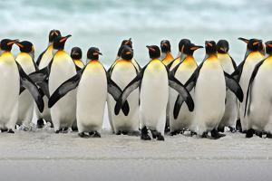 Group of King Penguins Coming Back Together from Sea to Beach with Wave a Blue Sky, Volunteer Point by Ondrej Prosicky