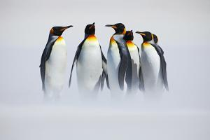 Group of Penguin. Group of Six King Penguins, Aptenodytes Patagonicus, Going from White Snow to Sea by Ondrej Prosicky