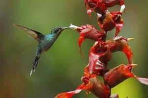 Hummingbird Green Hermit, Phaethornis Guy, Flying next to Beautiful Red Flower with Green Forest Ba by Ondrej Prosicky