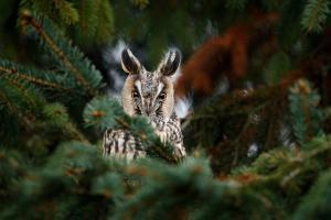 Long-Eared Owl Sitting on the Branch in the Fallen Larch Forest during Autumn. Owl Hidden in the Fo by Ondrej Prosicky