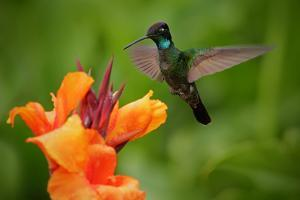 Nice Hummingbird, Magnificent Hummingbird, Eugenes Fulgens, Flying next to Beautiful Orange Flower by Ondrej Prosicky