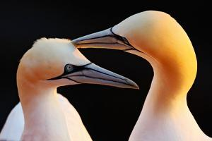 Northern Gannet, Detail Head Portrait with Evening Sun and Dark Orange Sea in the Background, Beaut by Ondrej Prosicky