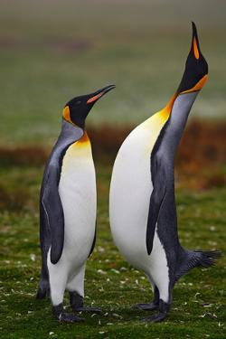 Pair of Penguins. Small and Big Bird. Male and Female of Penguin. King Penguin Couple Cuddling in W by Ondrej Prosicky