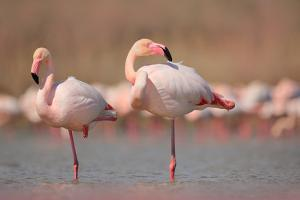 Pink Big Birds Greater Flamingos, Phoenicopterus Ruber, in the Water, Camargue, France. Flamingos C by Ondrej Prosicky