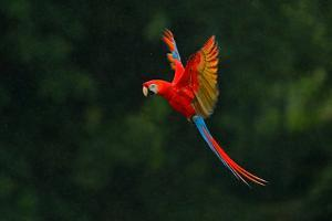 Red Parrot in the Rain. Macaw Parrot Flying in Dark Green Vegetation. Scarlet Macaw, Ara Macao, in by Ondrej Prosicky