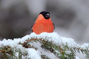 Red Songbird Bullfinch Sitting on Snow Branch during Winter. Wildlife Scene from Czech Nature. Beau by Ondrej Prosicky