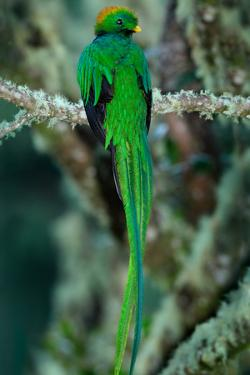 Resplendent Quetzal, Pharomachrus Mocinno, Magnificent Sacred Green Bird with Very Long Tail from S by Ondrej Prosicky