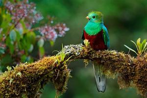 Resplendent Quetzal, Pharomachrus Mocinno, Savegre in Costa Rica, with Green Forest in Background. by Ondrej Prosicky