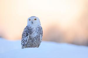 Snowy Owl, Nyctea Scandiaca, Rare Bird Sitting on the Snow, Winter Scene with Snowflakes in Wind, E by Ondrej Prosicky