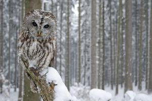 Tawny Owl Snow Covered in Snowfall during Winter, Snowy Forest in Background, Nature Habitat by Ondrej Prosicky