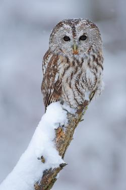 Tawny Owl Snow Covered in Snowfall during Winter. Wildlife Scene from Nature. Snow Cover Tree with by Ondrej Prosicky