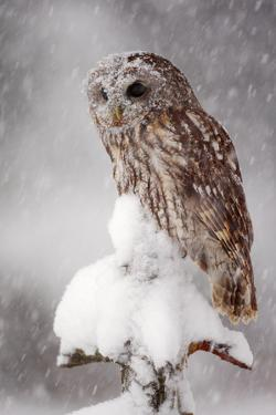 Winter Wildlife Scene with Owl. Tawny Owl Snow Covered in Snowfall during Winter. Action Snowfall S by Ondrej Prosicky