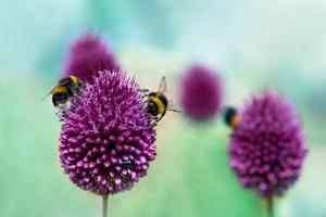 Bees on Allium Sphaerocephalon. Allium Drumstick, also known as Sphaerocephalon, Produces Two-Toned by Onelia Pena