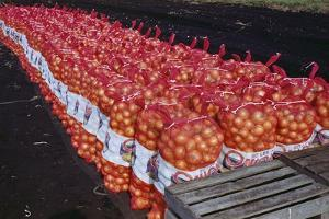 Onion Sacks on Field