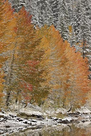 https://imgc.allpostersimages.com/img/posters/orange-aspens-in-the-fall-among-evergreens-covered-with-snow-at-a-lake_u-L-PWFITN0.jpg?p=0