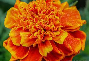 Orange Flower Close-up