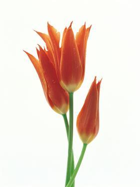 Orange Flowers Against White Background