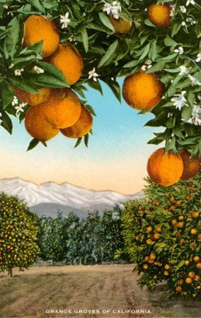 Orange Grove with Mountains in Background
