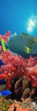 Orange-Lined Triggerfish and Soft Corals in the Ocean