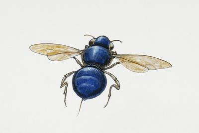https://imgc.allpostersimages.com/img/posters/orchid-bee-euglossa-intersecta-apidae-artwork-by-tim-hayward_u-L-PVE40Q0.jpg?p=0