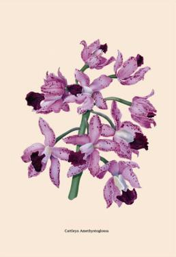 Orchid: Cattleya Amethystoglossa