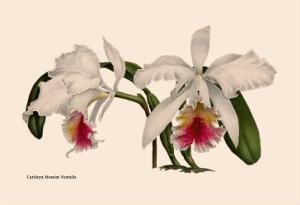 Orchid: Cattleya Mossia Vestalis