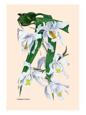 Orchid: Coelogyne Cristata