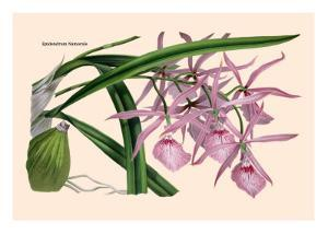 Orchid: Epidendrum Namorale