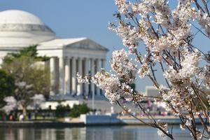 Spring in Washington DC - Cherry Blossom Festival at Jefferson Memorial by Orhan