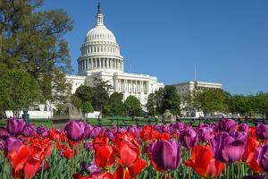 The Capitol with Colorful Tulips Foreground in Spring - Washington Dc, United States of America by Orhan