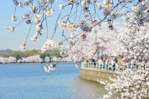 Washington DC - Cherry Blossom Festival at Tidal Basin in Spring by Orhan