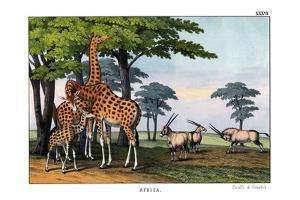 Oryx, 1860