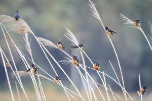 Barn Swallow (Hirundo Rustica) Group Of Different Subspecies Resting Together. Israel by Oscar Dominguez