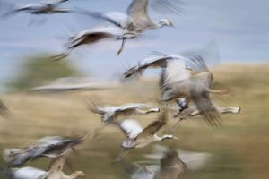 Common Cranes (Grus Grus) Flock Taking Fligh. Agamon Hula. Hula Valley. Israel by Oscar Dominguez