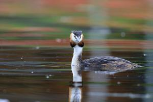 Great Crested Grebe (Podiceps Cristatus) Swimming. Staffelsee. Upper Bavaria. Germany by Oscar Dominguez