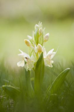 Inflorescence Of Elder-Flowered Orchid (Dactylorhiza Sambucina). Pyrenees. Andorra by Oscar Dominguez