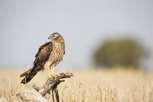 Montagu's Harrier (Circus Pygargus) Female Perched On Branch. Lleida Province. Catalonia. Spain by Oscar Dominguez
