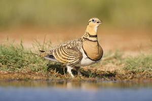 Pin-Tailed Sandgrouse (Pterocles Alchata) Female Drinking At Water Pond. Aragon. Spain by Oscar Dominguez