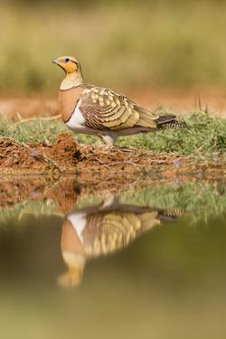 Pin-Tailed Sandgrouse (Pterocles Alchata), Male Near Water Pond. Aragon. Spain by Oscar Dominguez