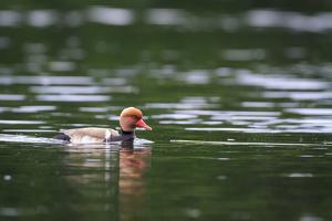 Red-Crested Pochard (Netta Rufina) Male Swimming. Staffelsee. Upper Bavaria. Germany by Oscar Dominguez