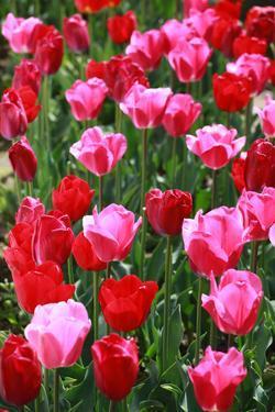 Tulips by oscarcwilliams